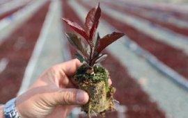 蓝莓、苹果砧木平台炼苗