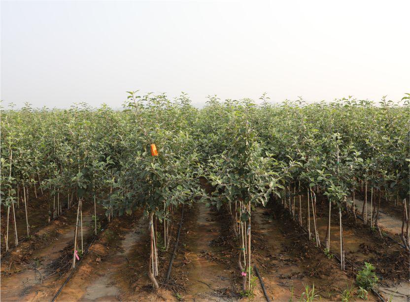 阿森泰克一年生多分枝商品种苗